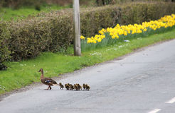 Mallard, Anas Platyrhynchos, Young Crossing Road Stock Photo