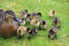 Mallard, anas platyrhynchos, with young ducklings. Proud female Mallard duck, anas platyrhynchos, guards her young ducklings on a lawn in early Spring in the Royalty Free Stock Images