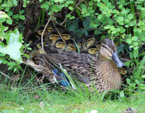 Mallard, anas platyrhynchos, with young ducklings. Proud female Mallard duck, anas platyrhynchos, guards her young ducklings under some shrubs at the side of a Stock Image