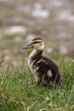 Mallard, Anas platyrhynchos. Youngster in grass, Scotland Stock Photo