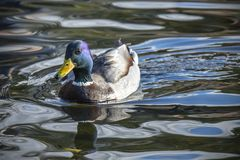 Mallard duck swimming in a pond. stock photography