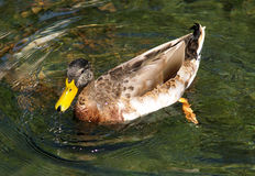 Mallard apprécie l'eau propre Images libres de droits