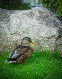 Mallard in Arboretum Royalty Free Stock Photography