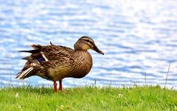 Mallard, Bank, Pond, Cute, Nature Stock Photo
