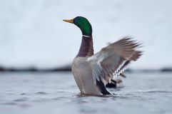 Mallard beats his wings in winter cold water royalty free stock photography