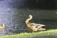 Mallard. A beautiful female mallard duck Stock Photos