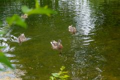 Group of mallard ducks floating on a pond at summer time. Stock Photography