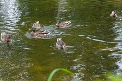 Group of mallard ducks floating on a pond at summer time. Mallard - a bird from the family of ducks detachment of waterfowl. The most famous and common wild Royalty Free Stock Photography