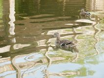 A mallard bird on the water swimming with reflection - Anas plat Stock Photos