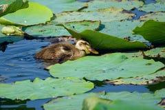 Mallard birdling. A mallard birdling in lotus pond. Scientific name: Anas platyrhynchos Stock Photography
