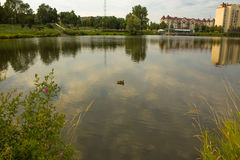 Mallard in the blue water of the lake in the city center. Royalty Free Stock Images