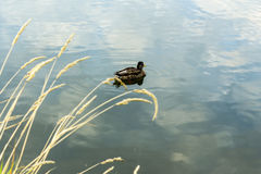 Mallard in the blue water of the lake in the city center. Royalty Free Stock Image