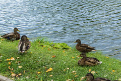 Mallard in the blue water of the lake in the city center. Stock Images