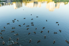 Mallard in the blue water of the lake in the city center. Royalty Free Stock Photography