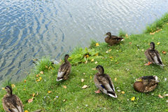 Mallard in the blue water of the lake in the city center. Stock Photography