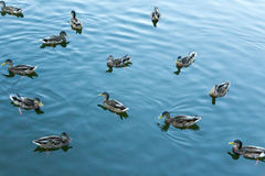 Mallard in the blue water of the lake in the city center. Royalty Free Stock Photos