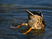 Mallard Bottom. Diving under water for food, only the bottom of this Mallard Duck is seen. At full view, water drops are visible on the feathers Royalty Free Stock Image
