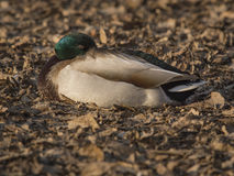 Mallard bride. Male mallard rests on a bed of dry leaves at sunset Stock Photos