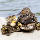 Mallard Brood. Mallard mom and her babies taking a nap in the afternoon sun Stock Photography