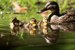 Mallard Brood Stock Images