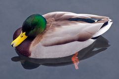 Mallard in calm water. A closeup of a colorful Mallard paddling in clear, calm water.  Species:  Anas platyrhynchos Royalty Free Stock Photos