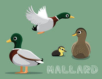 Mallard Cartoon Vector Illustration Royalty Free Stock Photo