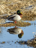 Mallard casts reflection. Royalty Free Stock Image