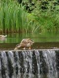 Mallard and Cataract. A mallard duck collecting food on top of a small cataract Stock Photos