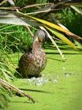 Mallard che si pavoneggia le sue piume in Travis Wetland Nature Heritage Park in Nuova Zelanda Fotografia Stock Libera da Diritti