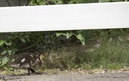 Mallard Chick. & x28;Anas platyrhynchos& x29; roaming a park Stock Photos