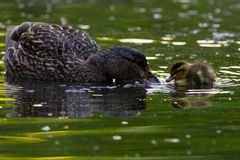 Mallard and chick Stock Images