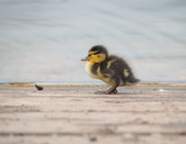 Mallard chick Stock Images