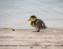 Mallard chick. By a lake Stock Images