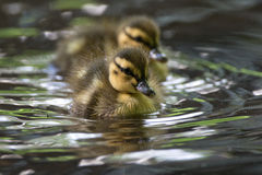 Mallard Chick Pair. Close up sot of mallard chick pair Royalty Free Stock Images