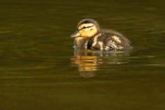 Mallard - Anas platyrhynchos. Mallard chick swimming in the shallow water. Edwards Gardens, Toronto, Ontario, Canada royalty free stock photos