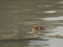 Mallard chick swims in the pond. Paying attention to what surrounds it Royalty Free Stock Photo