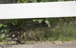 Mallard Chick Stock Photos