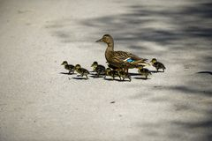 Mallard and chicks. A female mallard and its chicks crossing a road in Spring Royalty Free Stock Photography