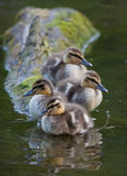 Mallard Chicks all lined up. These four chicks were posing perfectly for the camera as they sat on this log Royalty Free Stock Photos