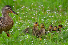 Mallard with chicks Royalty Free Stock Photo