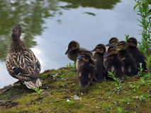 Mallard Chicks and Mother Royalty Free Stock Image