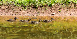 Mallard chicks in a row. Family of Mallard duck - new chicks Stock Image
