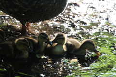 Mallard Chicks Stock Image