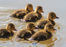 Mallard Chicks Swimming Royalty Free Stock Photo