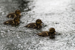 Mallard Chicks Stock Photography