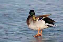 Mallard cleaning plumage. Male mallard Anas platyrhynchos in bright nuptial plumage on ice. Belarus royalty free stock photography