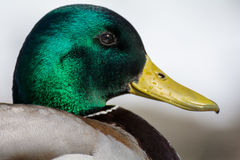 Mallard. A closeup of the green head of a mallard duck Royalty Free Stock Photo