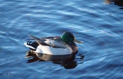 Mallard. In cold Swedish water in autumn Stock Photo