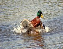 Mallard cooling off on hot day. This good looking guy,was cooling off and just having a great time. Wings hitting the water hard enough to cover him with water Stock Photography