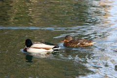 Mallard Couple. A mallard couple in navigation Royalty Free Stock Images
